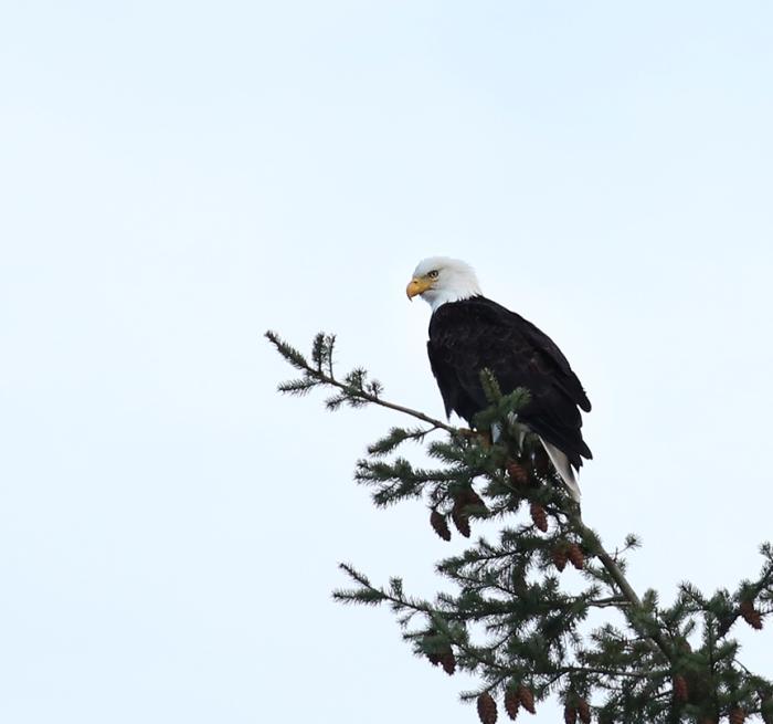 wr-bald-eagle