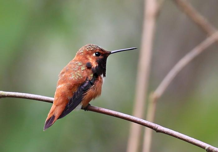 rufous hummingbird4
