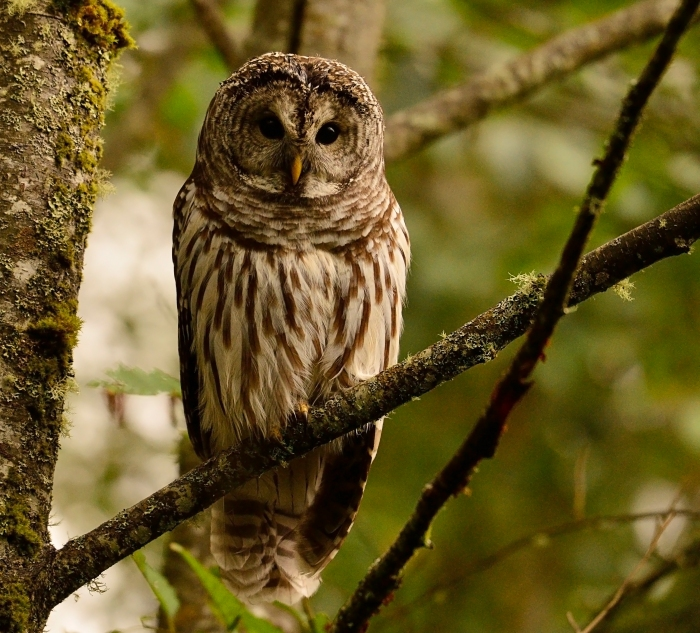 another barred owl