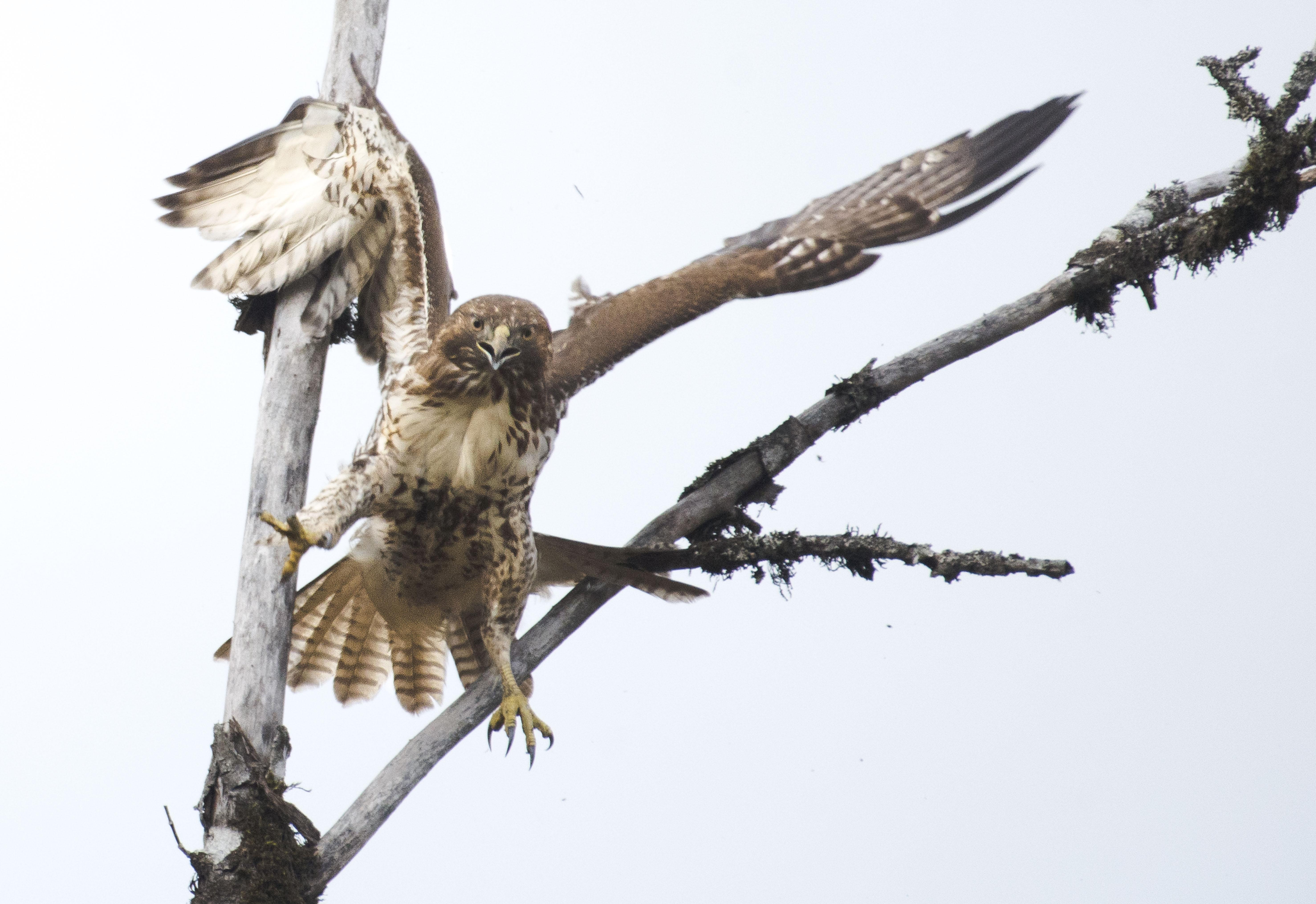 Hawks Of The Pacific Northwest The Bird Nerd